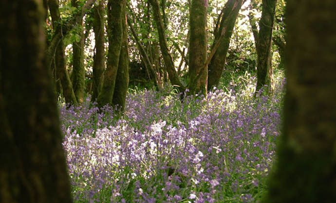 Bluebell Woods Blog1
